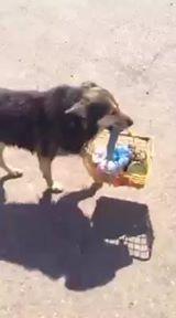 חברו הטוב ביותר! כלב באילת סוחב לבעלים שלו את המצרכים
