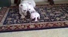בולדוג מלמדת את הגור שלה צעדים ראשונים